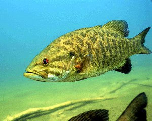 1024px-Detailed_underwater_photo_of_smallmouth_bass_fish_micropterus_dolomieu